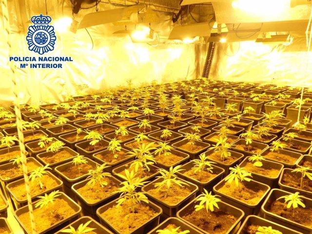 Plantas de marihuana incautadas en varios chalets de la localidad toletada de Ontígola, limítrofe con Madrid.