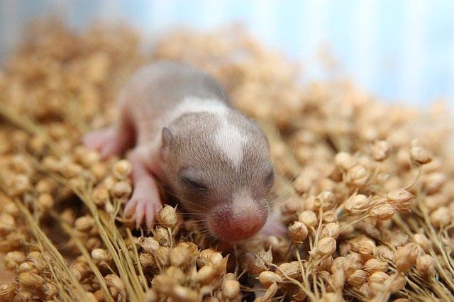 Ratón recién nacido.