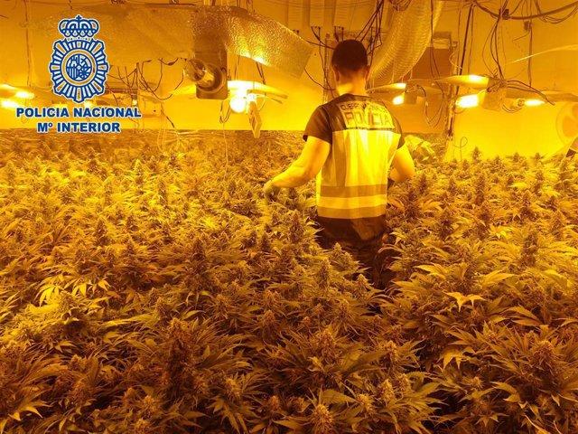 Imagen de archivo de una operación contra el cultivo de marihuana