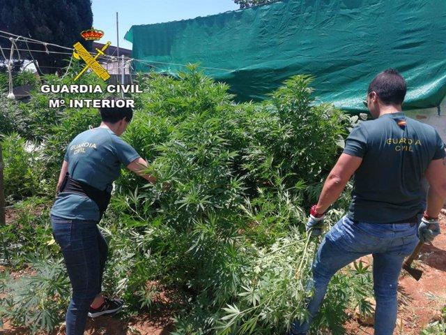 Incautación de marihuana en Almensilla
