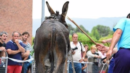 Animalistas de Leioa piden el fin de pruebas de arrastre en fiestas de barrios en las que se maltrata a burros y bueyes