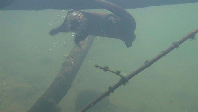 Una nutria nadando en el río