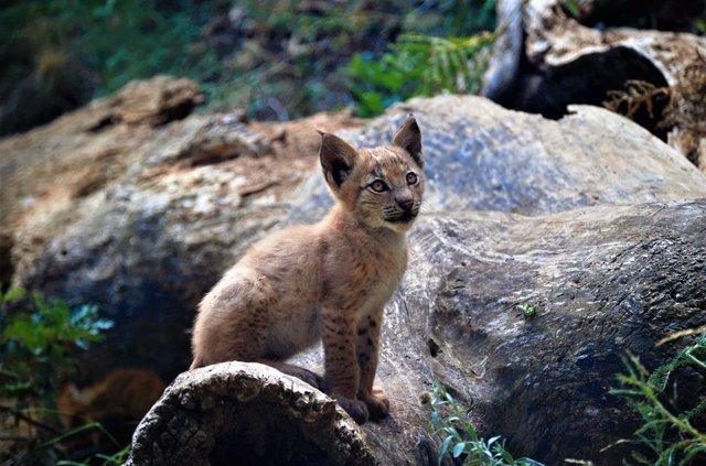 El primer linx nascut en el Pirineu en més d'un segle