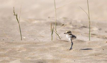 El chorlitejo patinegro cría por primera vez en la playa del Puerto de Sagunto