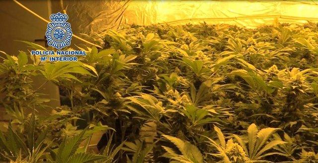 Imagen de una plantación 'indoor' que se ha incautado la Policía Nacional.