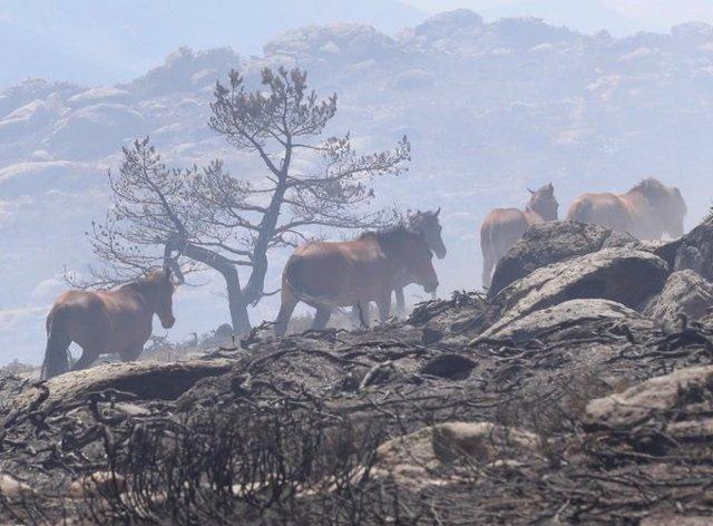 Imagen del grupo de caballos que corrían riesgo de morir quemados en el incendio de La Granja y que fueron salvados por un piloto de la brigada helitransportada de la Comunidad de Madrid.