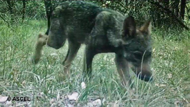 ASCEL pide que liberan a un lobezno que fue capturado en Burgos.