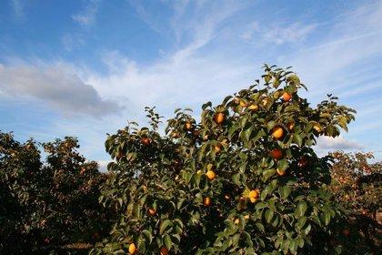AVA-Asaja advierte que la ola del calor ocasiona sobrecostes económicos en los cultivos y manchas en la piel de frutas