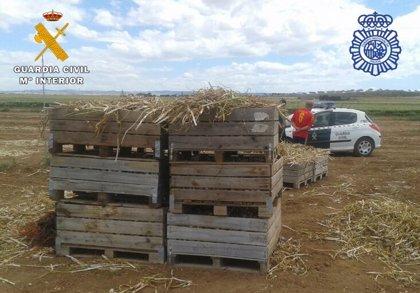 Un total de 144 identificados y 36 detenidos en inspecciones realizadas en la campaña del ajo en Albacete