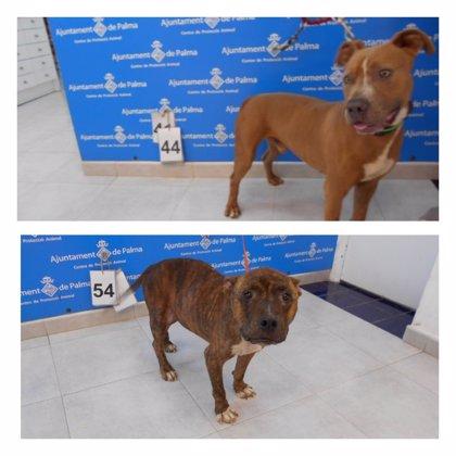 Investigan si robaron los dos pitbulls de Son Reus para utilizarlos en peleas de perros
