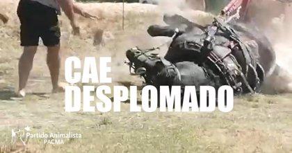 """PACMA denuncia que un caballo se desplomó """"de agotamiento"""" en el tiro y arrastre de Riba-roja del Túria (Valencia)"""