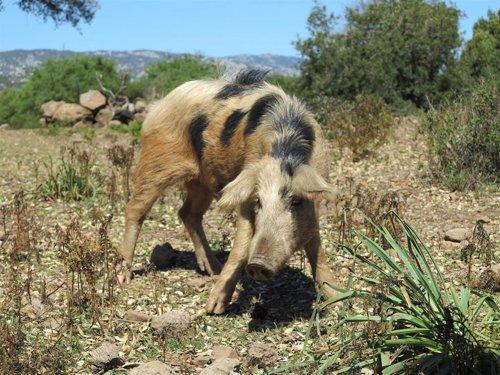 Ejemplar de cerdo