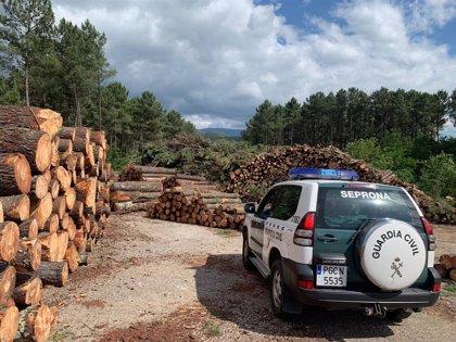 Un empresario detenido y 14 personas investigadas por comercializar madera infectada