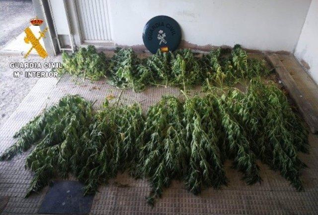 Plantas de marihuana incautadas en Cintruénigo