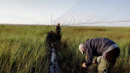 Voluntarios participan en Palencia en el anillamiento de aves migratorias que promueve el programa LIFE Paludicola