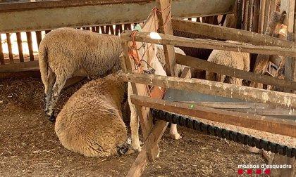 Denuncian a seis personas por sacrificio irregular de corderos en Tarragona