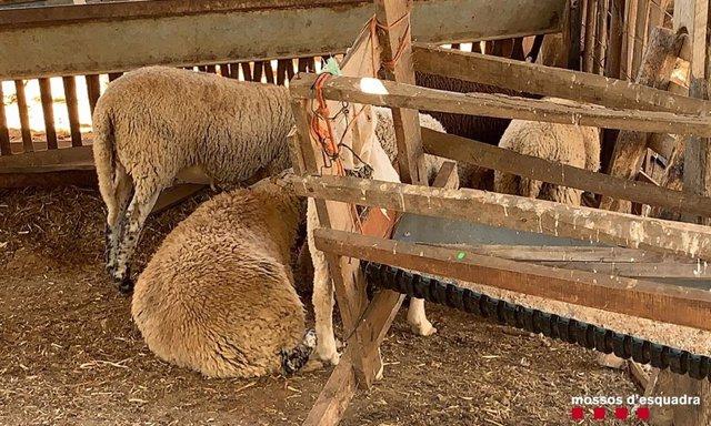 Denuncian a seis personas por sacrificio irregular de corderos en Tarragona.