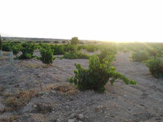 Vinyes, vi, camp, agricultors