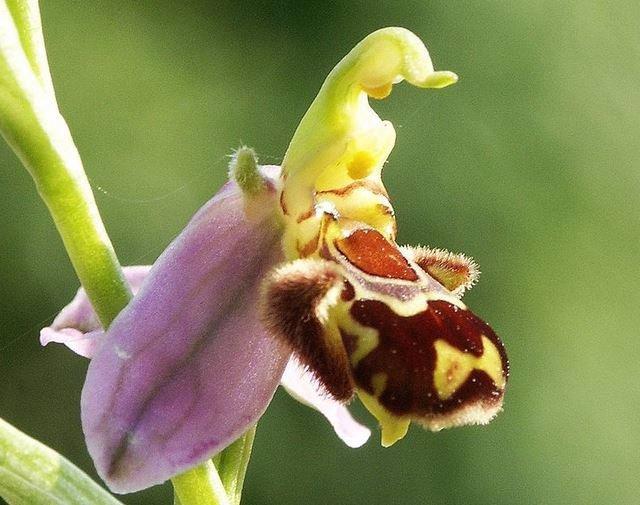 Orquídea de las abejas