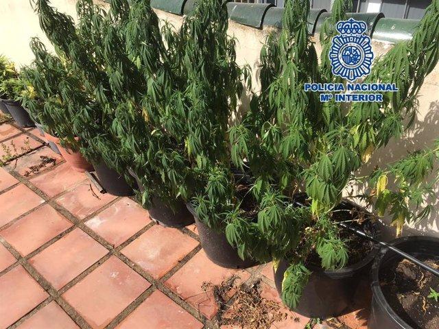 Plantas de cannabis sativa en la azotea de un inmueble en Marbella (Málaga)