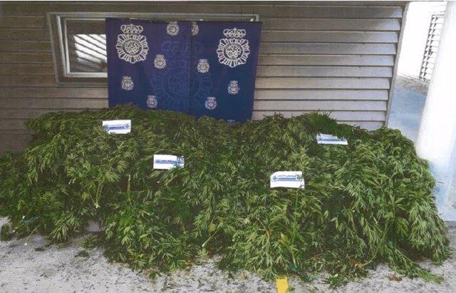 Plantación de cannabis ocupada a un matrimonio y su hijo en Valladolid.