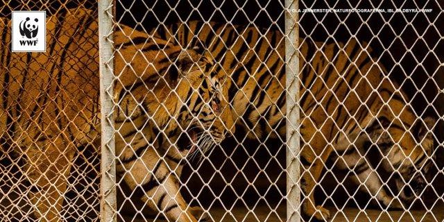 Tigres encerrados en una granja