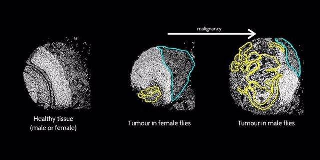 Diferencias entre tumores en moscas del vinagre masculinas y femeninas.