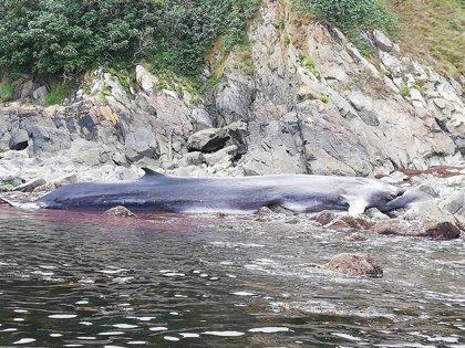 La ballena que murió varada en Tapia ya ha sido trasladada al puerto de Navia
