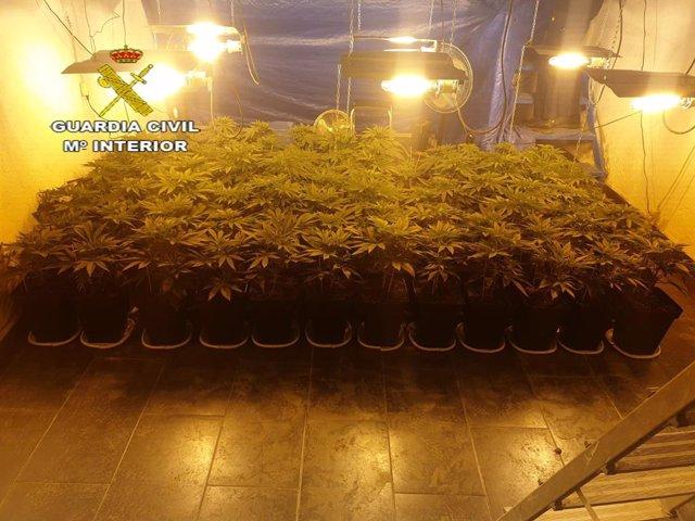 Plantación de marihuana en El Coronil.