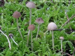 Nova espcie de fong 'Psathyrella montgriensis' en l'aprque natural del Montgrí, les illes Medes i el Baix Ter