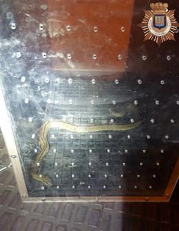 Culebra atrapada en Logroño tras morder a una persona