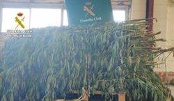 Intervenen 38 quilos de marihuana i 175 plantes en tres operacions (GUARDIA CIVIL)