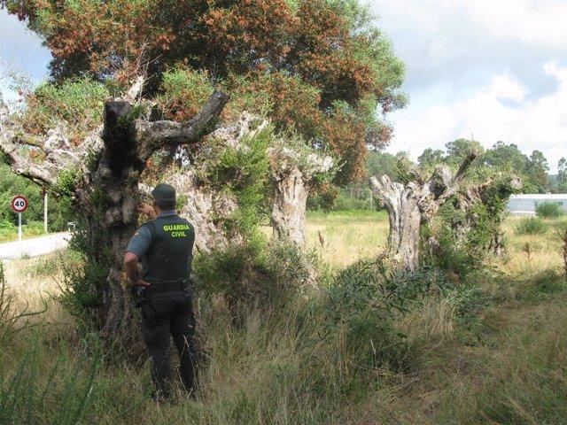 Investigados dos vecinos de Meis (Pontevedra) por la sustracción de 7 olivos centenarios en Vilagarcía.