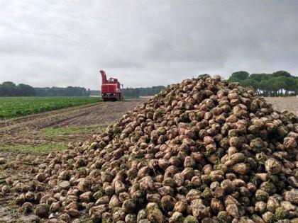 Agricultura mantiene su apoyo al cultivo de la remolacha azucarera en Producción Integrada al que destina 126.000 euros