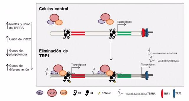 Modelo de cómo TRF1 controla la pluripotencia