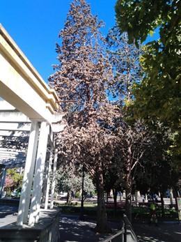 Arbol que retirará el Ayuntamiento en El Espolón de Logroño