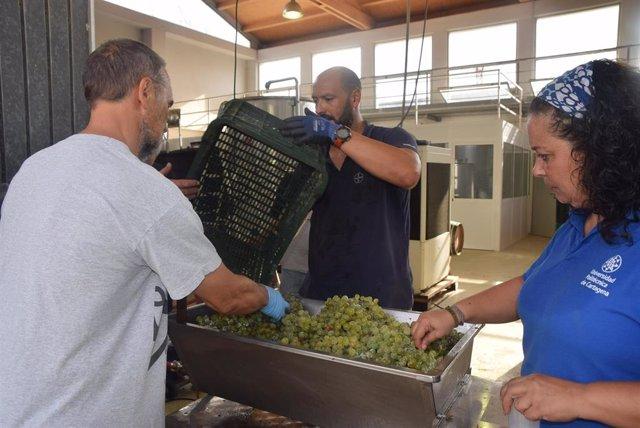 Imágenes de voluntarios y técnicos de la UPCT elaborando el mosto con la uva cosechada ayer