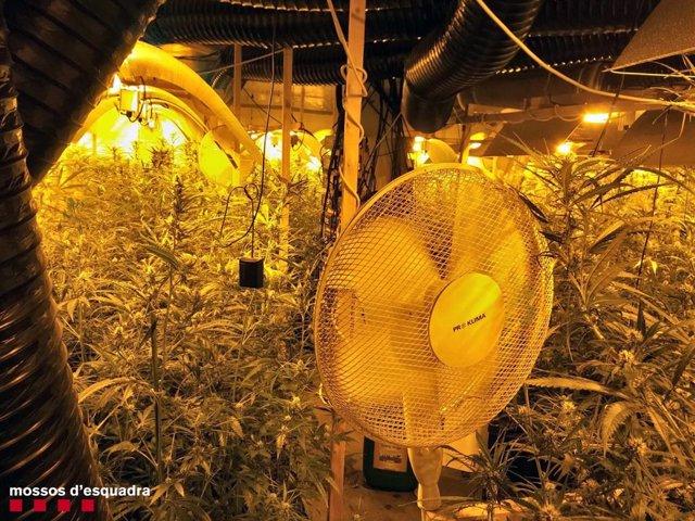 Plantació interior marihuana Catllar