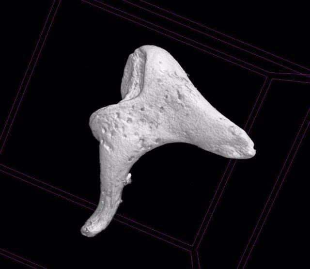 Investigadores aseguran que los huesos del oído ofrecen información sobre la die