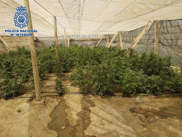 Plantación de marihuana en Matagorda, pedanía de El Ejido (Almería)