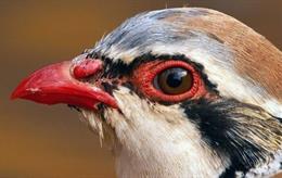 La coloración roja de las perdices predice su longevidad y su capacidad reproductiva