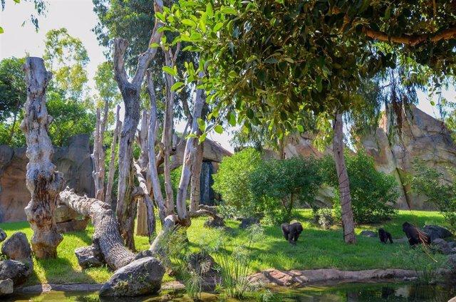 Familia de gorilas en el Bioparc