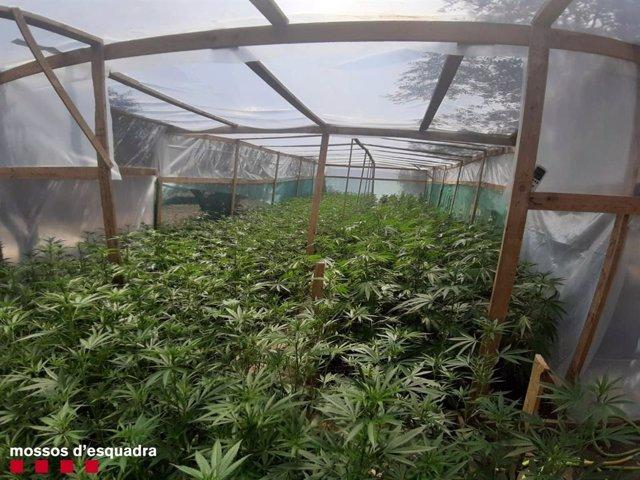 1.798 Plantas De Marihuana En Un Invernadero