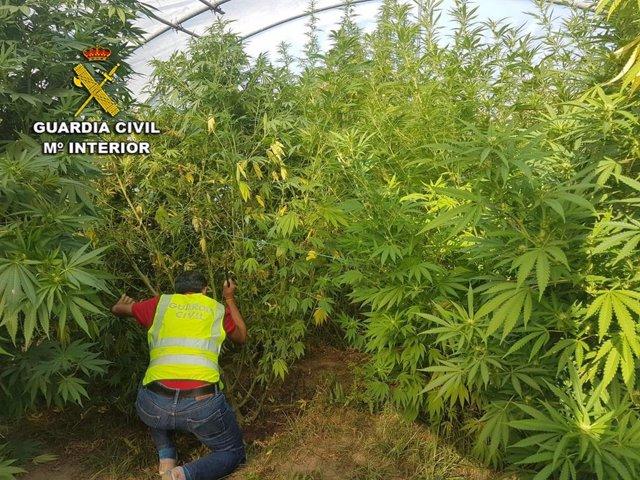 Investigados dos vecinos de A Guarda (Pontevedra) por una plantación de marihuana intervenida.
