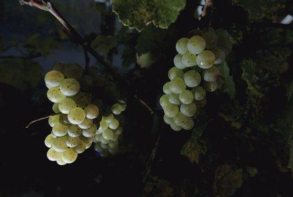 Las uvas de vino de Borgoña muestran un calentamiento acelerado del clima en los últimos 30 años