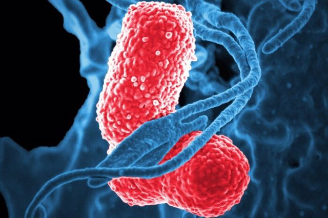 Los glóbulos blancos (azul) atacan a dos bacterias 'Klebsiella' (rosa) en esta imagen microscópica electrónica de barrido coloreada.