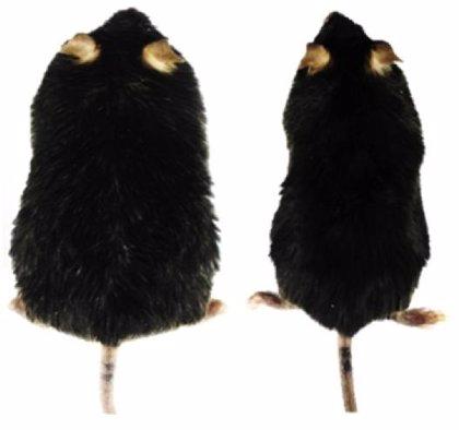 Revierten la diabetes tipo 2 y la obesidad en ratones con terapia génica