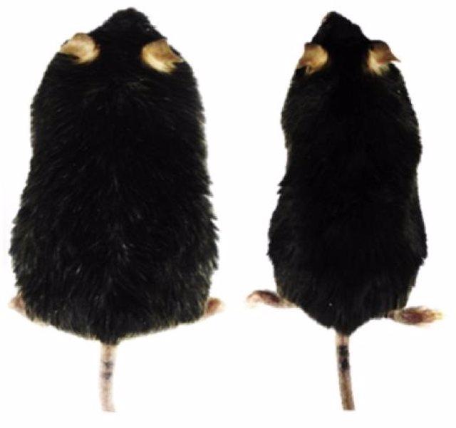 Terapia génica en glóbulos blancos de grasa de ratones obesos mostró disminuciones en el peso corporal.