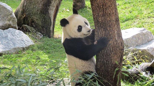 Chulina Cumple Dos Años En El Zoo De Madrid