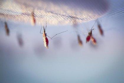 La infección de malaria se asocia con un mayor riesgo de insuficiencia cardiaca